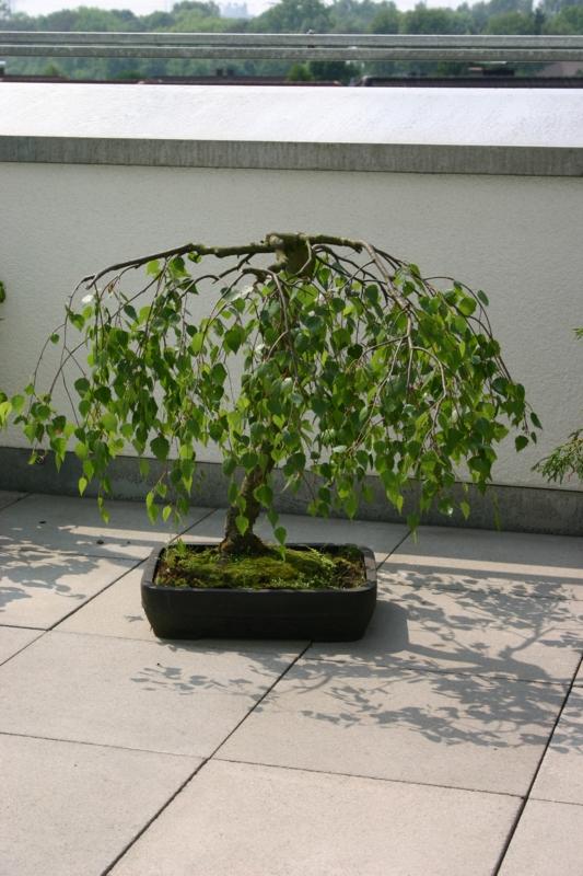 gibt es bonsai fans hier im forum uhrforum. Black Bedroom Furniture Sets. Home Design Ideas