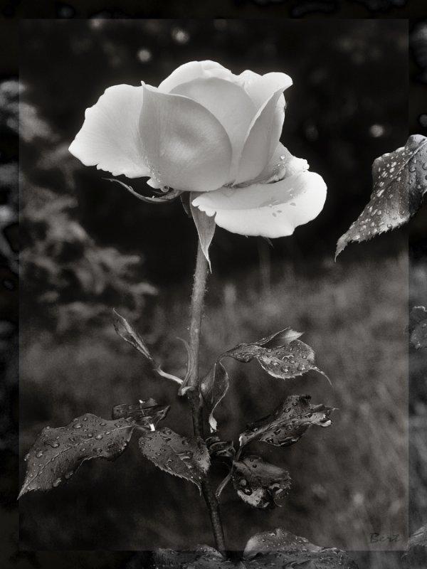 Rose_03_sw.jpg