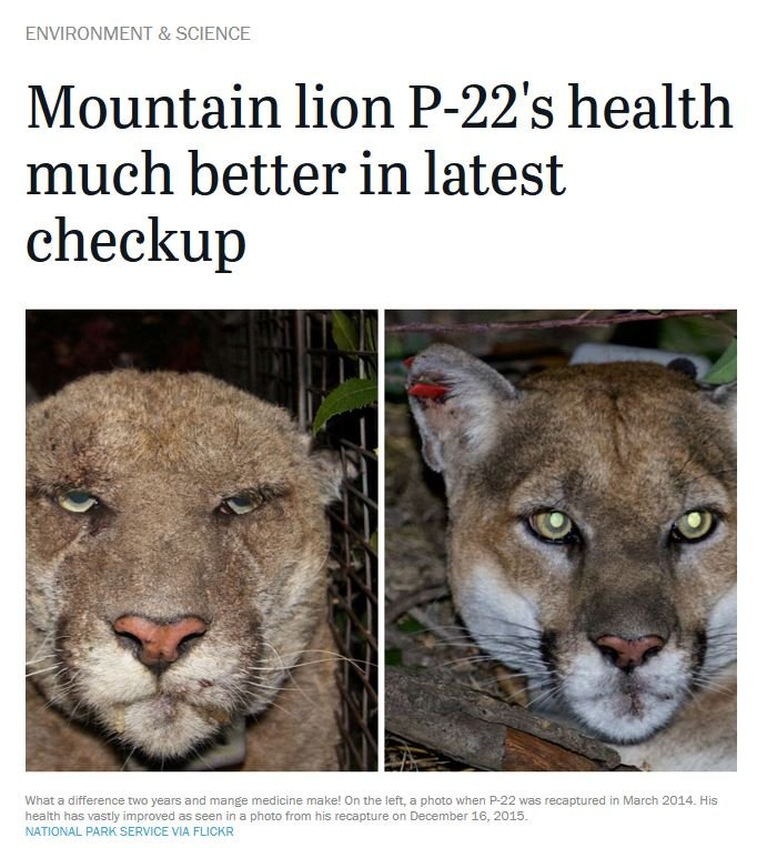 Mountain lion P22 mange rat poison before and after.jpg