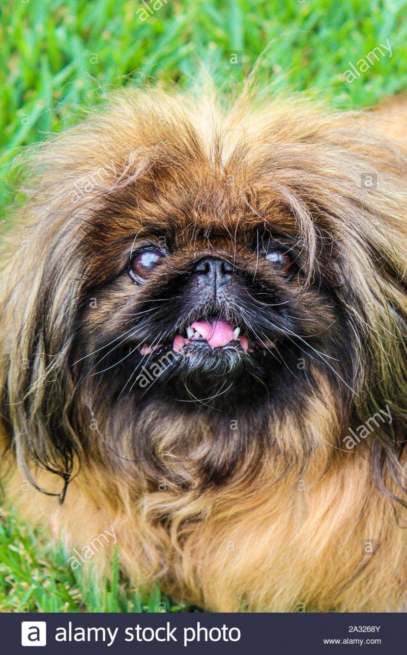 susse-braune-langhaarigen-pekingese-dog-erwachsene-frau-auch-als-pekinesen-peking-lowe-hund-od...jpg